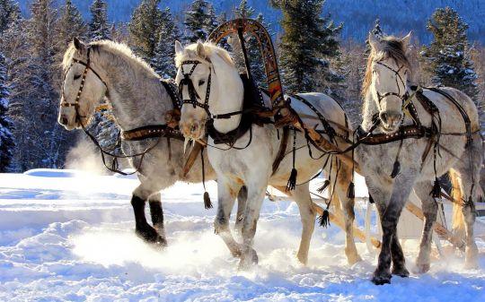 winter-achtergrond-met-witte-paarden-in-de-sneeuw-die-slee-trekken.jpg